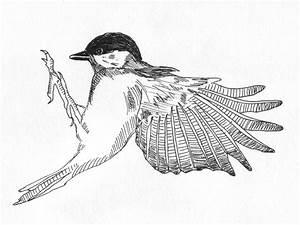 Sophie Brabbins  Bird Drawings