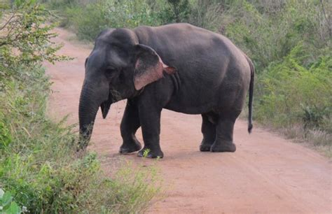 dwarf elephant discovered  sri lanka video
