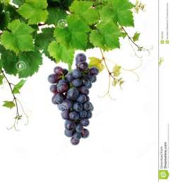 Grapevine with Grapes