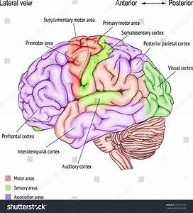 Anatomy Human Brain Areas Cerebral Cortex Stock Vector