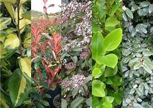 Arbuste Feuillage Persistant Croissance Rapide : haie m lang feuillage persistant en 5 vari t s taille ~ Premium-room.com Idées de Décoration