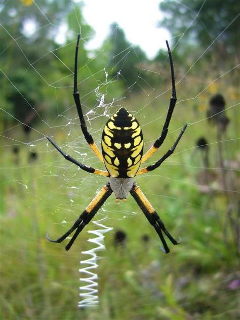Garden Spider by Black And Yellow Garden Spider Argiope Aurantia