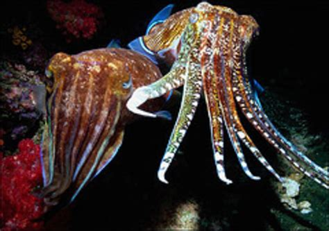 cuttlefish changing color biomimicry color changing cuttlefish inspire green tv screens