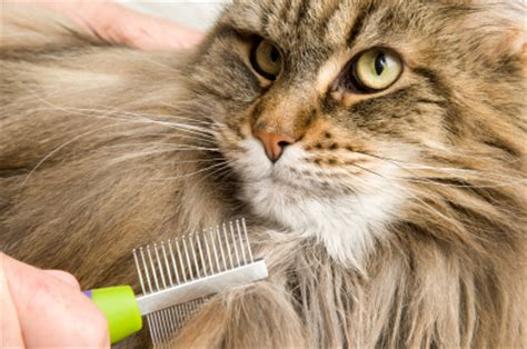 do maine coons shed in the summer vet pet tips