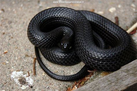 black garden snake thamnophis melanogaster canescens steven bol garter snakes