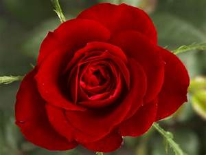 Red Rose Flowers Wallpapers | Tontenk
