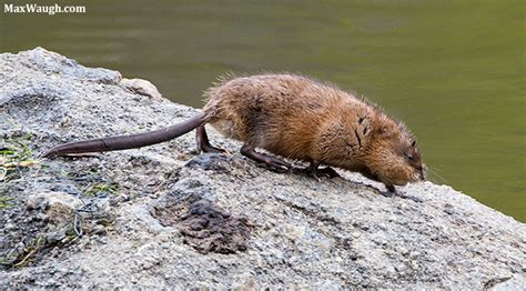 Images Of Muskrats Animal Identification Throwdown Otter Vs Beaver Vs