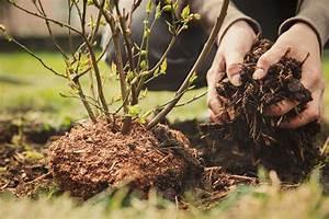 Wann Heidelbeeren Pflanzen : heidelbeeren blaubeeren pflanzen zeitpunkt anspr che standort plantura ~ Orissabook.com Haus und Dekorationen
