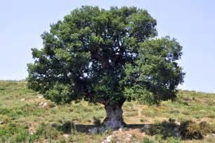 file oak tree in corsica jpg
