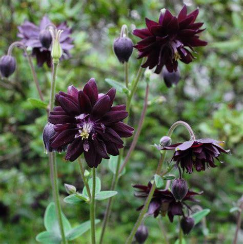 black columbine flower goth garden flower columbine black raven aquilegia vulgaris 25 seeds