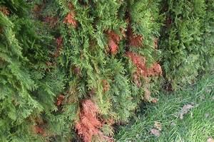 Thuja Hecke Innen Braun : thuja occ smaragd lebensbaum braune stellen was ist zu tun fragen bilder pflanz und ~ Buech-reservation.com Haus und Dekorationen
