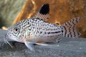 CORYDORAS JULII - LEOPARD CORY - LIVE FISH, CATFISH ...