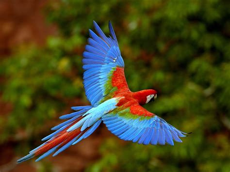 high back wing macaw parrots as pets animals library