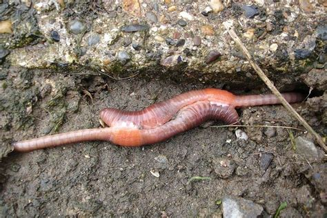 worms wiggler cycle eisenia foetida worm copulating stages pair soil