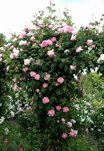 Support Pour Rosier Grimpant : rosier grimpant planter et tailler ooreka ~ Premium-room.com Idées de Décoration