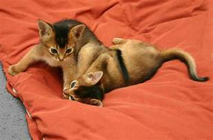 cat cost abyssinian pictures pics images and photos for inspiration