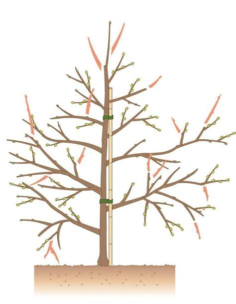 apfelbaum schneiden tipps fuer jede baumgroesse garten