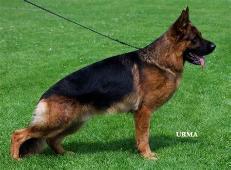 berger allemand chien chiot annonces chiens et chiots 224 donner ou adopter