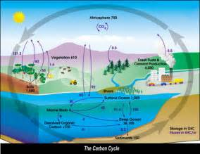 Define Carbon Sink Forest the global carbon cycle