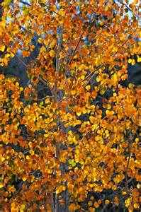 aspen trees foliage fall tree color fall landscape photos brown hairs
