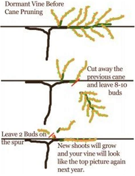 how to prune vines 1000 images about pruning on pinterest grape vines pruning fruit trees and apple tree