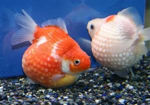 Round  U0026 39 N U0026 39  Cute  Born To Be Round  Pearlscale Goldfish
