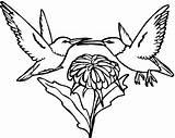 Hummingbird Coloring Pages Printable Bird Humming Swallow Adults Hummingbirds Adult Tailed Drawings Print Flowers Getcoloringpages Designlooter Getcolorings Getdrawings Popular 07kb sketch template