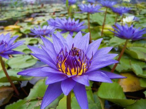 Pond Plants Archives  Aquarium Plants For Sale