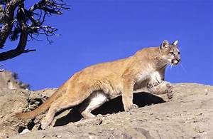 Mountain Lion killed by vehicle in Connecticut came from ...