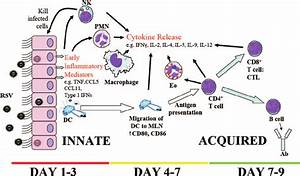 Cells Involved In The Immune Response To Rsv  Cellular