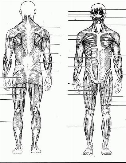 Muscle Diagram Human System Anatomy Coloring Blank