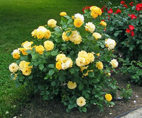 child roses pin by julius simmons on garden and outdoor spaces pinterest