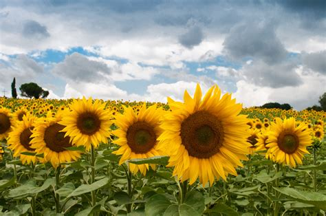 sunflower field  stock photo public domain pictures