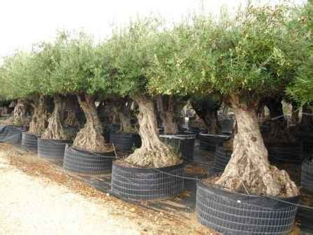 how much is an olive tree what plants can i put on my balcony perfect plants