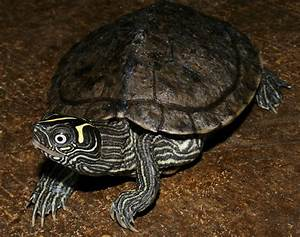 Mississippi Map Turtle | Flickr - Photo Sharing!
