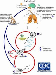 Naegleria Fowleri  Brain Eating Amoeba Risk  U0026 Symptoms