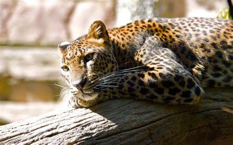 Jaguar Animal Wallpaper by Dangerous Animal Attacks Jaguar Animal Wallpapers