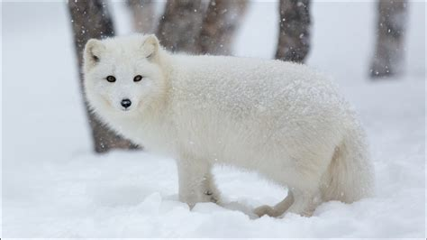 arctic fox hd wallpapers hd wallpapers id