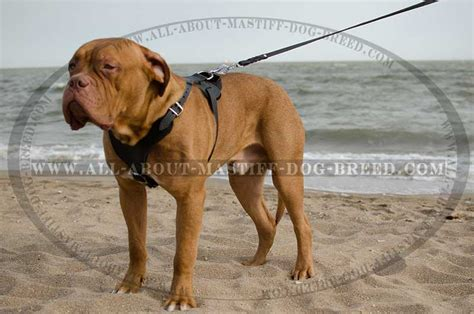 dogue de bordeaux price range breeds picture