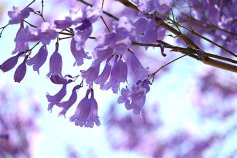 tree blooms jacaranda flowering conditions how to get a jacaranda to bloom