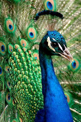 Indian Peafowl - Japari Library, the Kemono Friends Wiki