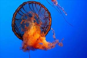 Incredibly Beautiful and Colorful Jellyfish (17 pics ...