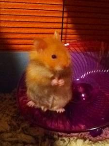 Baby teddy bear hamster   Teddy Bear Hamsters   Pinterest ...