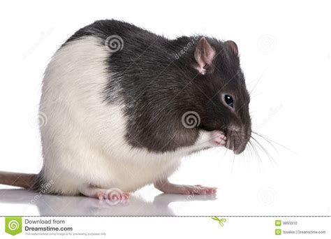 Black And White Rat Stock Photo - Image: 9893310