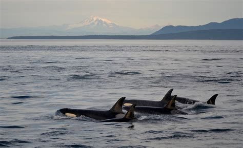 Learn More About Orca Whales