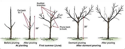 pruning peach trees lawn n garden ideas pinterest