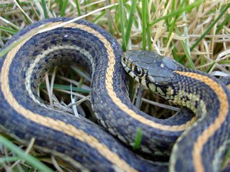 black garden snake best wallpapers lattes november 2010