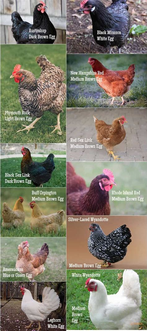 practical guide  keeping chickens chicken basics