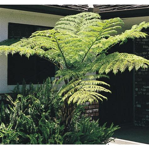 australian tree fern shop 2 29 gallon australian tree fern l11787 at lowes com
