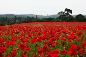 when did poppies become symbol of remembrance floristbrant florist blog brant florist blog